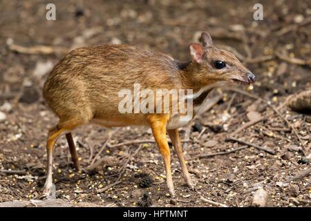 Thailand, Petchaburi Province, portrait of Java mouse deer - Stock Photo