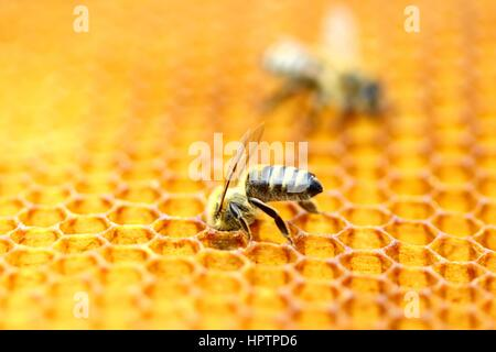 Working bee in honeycomb - Stock Photo