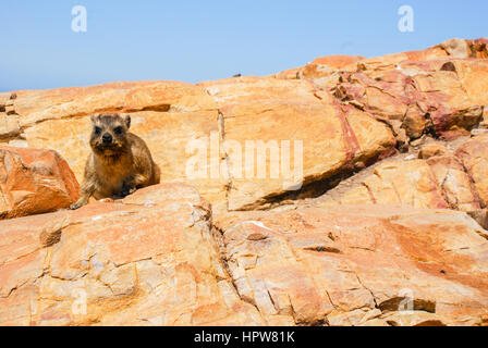 A dassie, or rock hyrax, sitting on a cliff top in South Africa - Stock Photo