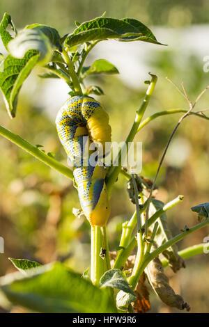 Acherontia Atropos Caterpillar - Stock Photo