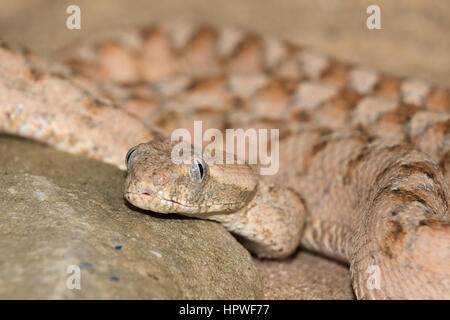 Echis or carpet viper venomous snake found in the dry ...