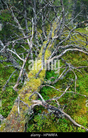 Fallen tree trunk covered in moss left to rot in old-growth forest / ancient woodland as dead wood, habitat for - Stock Photo