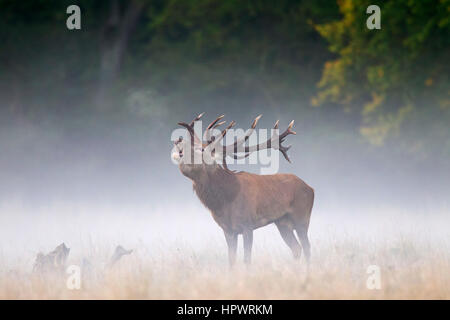 Red deer (Cervus elaphus) stag bellowing in grassland in the mist at forest's edge during the rut in autumn - Stock Photo