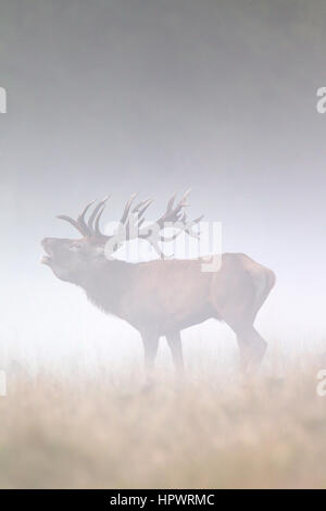Red deer (Cervus elaphus) stag bellowing in grassland in thick fog during the rut in autumn - Stock Photo
