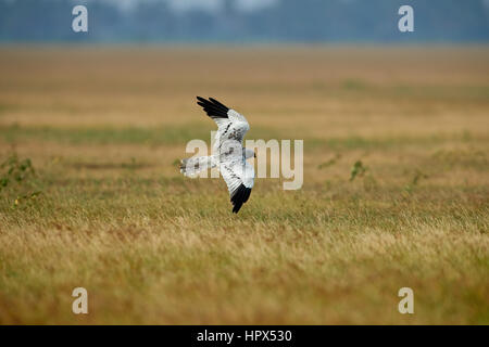 Flapping wings perching male Montagu's Harrier (Circus pygargus). - Stock Photo