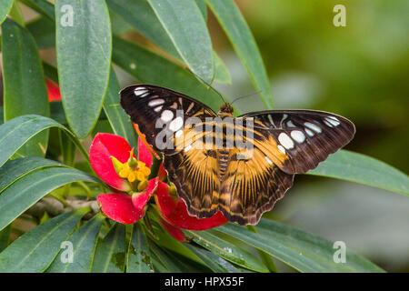 Clipper (Parthenos sylvia) butterfly - Stock Photo