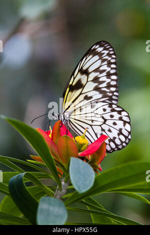 Tree Nymph (Idea leuconoe) butterfly - Stock Photo