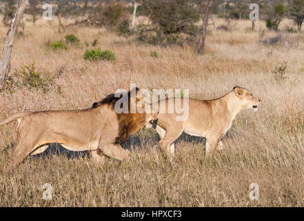 Lion and Lioness hunting at Kruger National Park, South Africa - Stock Photo