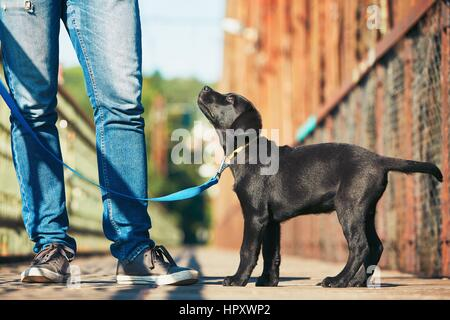 Morning walk with dog (black labrador retriever). Young man is training his puppy walking on the leash. - Stock Photo