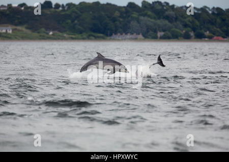 Bottlenose Dolpohin; Tursiops truncatus Two Jumping Morray Firth; Scotland; UK - Stock Photo
