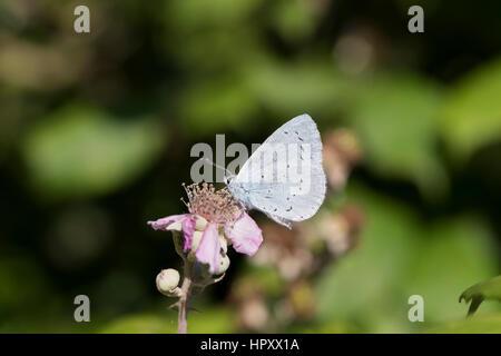 Holly Blue Butterfly; Celastrina argiolus Single on Flower Cornwall; UK - Stock Photo