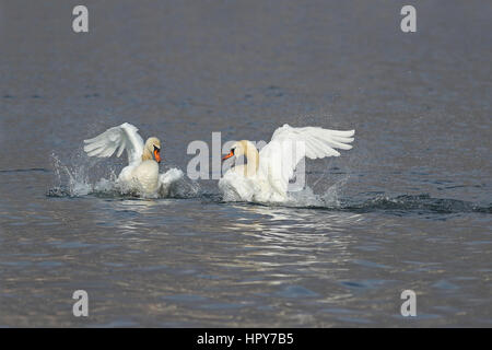 Two male swans, Cygnus olor, during a fight for supremacy in mating season - Stock Photo