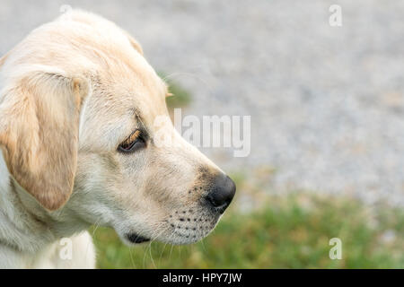 Close up image of a Labrador Retriever puppy looking alert with copy space on right side of image. - Stock Photo