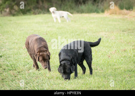 Three Labrador Retrievers, one chocolate colored, one white colored and black colored stand in a green meadow, with - Stock Photo