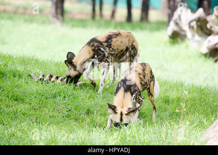 African wild dogs from from Taronga Western Plains Zoo in Dubbo. This city zoo was opened at 1977 and now have more - Stock Photo