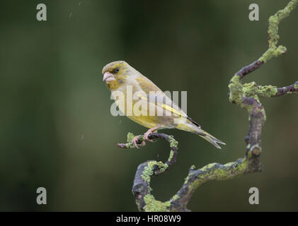 Greenfinch (Carduelis chloris) on a lichen covered branch, in the rain, February,2017 - Stock Photo