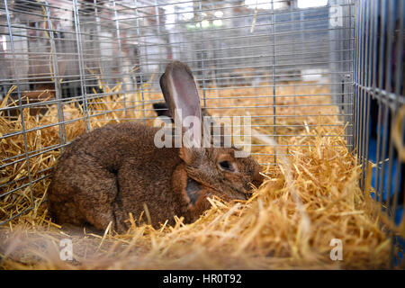 Paris, France. 25th Feb, 2017. A rabbit is seen at the 2017 Paris International Agriculture Show in Paris, capital - Stock Photo