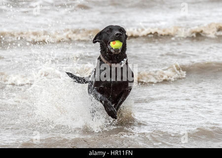 Dogs day out, Southport, Merseyside. 26th Feb 2017.  'Roxy' the beautiful black Labrador has a fantastic time chasing - Stock Photo