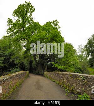 Castanea sativa, Sweet Chestnut Tree at Millbrook Bridge - Stock Photo