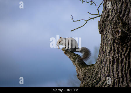 Eastern grey squirrel perched on a tree branch eating sycamore seed pods - Stock Photo