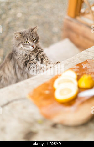 funny cat looking at the cut lemons on a wooden table outdoors - Stock Photo