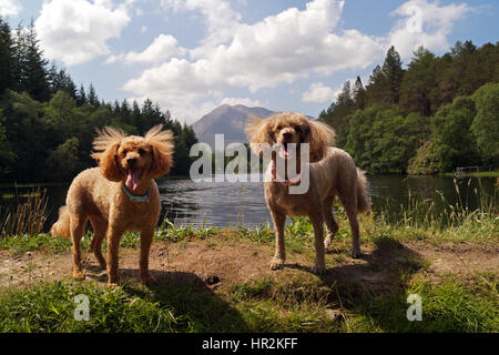 Red and Brown Toy Miniature Poodles Out Adventuring and Exploring at Glencoe Lochan with Glencoe in background - Stock Photo