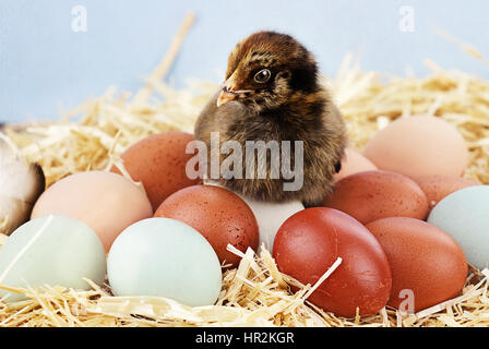 Adorable little Araucana chick sitting on top of a variety of organic farm fresh eggs.  Araucanas are also known - Stock Photo