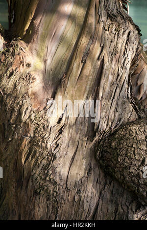 bark of Red Spotted Gum/ Brittle Gum- Eucalyptus mannifera ssp. mannifera- Family Myrtaceae - Stock Photo