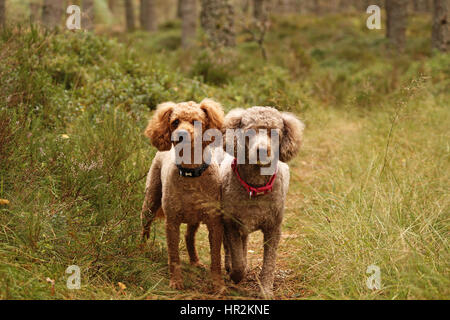 Poodles Out Adventuring and Exploring - Stock Photo