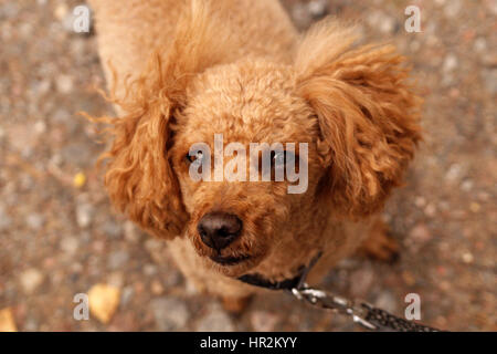 Cute Poodle Looking at the Camera - Stock Photo