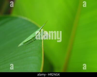 Untypical green grasshopper on palm leaf, close-up. Bali, Indonesia - Stock Photo