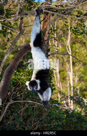 Black and White Ruffed Lemur, Varecia variegata, Lemurs Island, Vakona Forest, Madagascar, by Monika Hrdinova/Dembinsky - Stock Photo