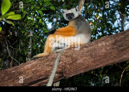 Lemur Diademed Sifaka, Diademed simpona, Propithecus diadema, Andasibe – Mantadia NP, Madagascar, by Monika Hrdinova/Dembinsky - Stock Photo