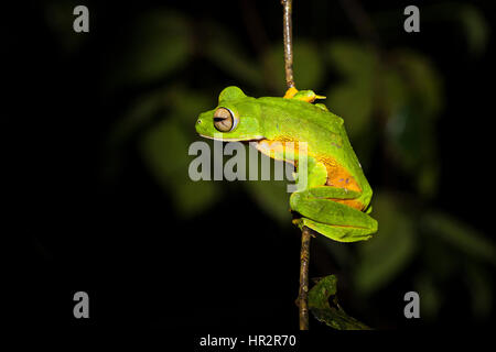 Wallace's Flying Frog, Parachute Frog,Rhacophorus nigropalmatus, Danum Valley, Sabah, Borneo, Malaysia, by Monika - Stock Photo