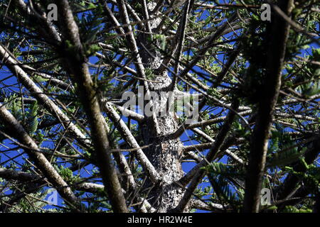 Unusual view of big pine tree from bottom to top. - Stock Photo