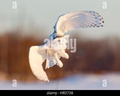 Female Snowy Owl in Flight, Ottawa, Canada - Stock Photo