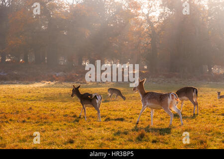 Fallow deer in Richmond Park, London - Stock Photo