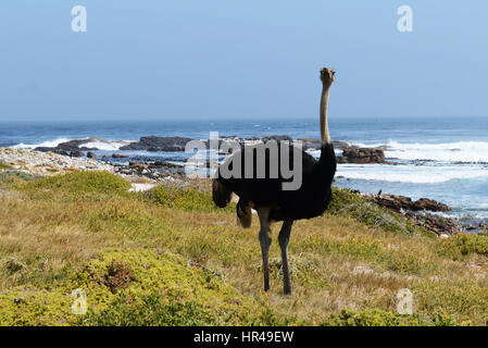 African Ostriches (Struthio camelus) foraging next to beach near Cape of Good Hope, Western Cape, South Africa - Stock Photo
