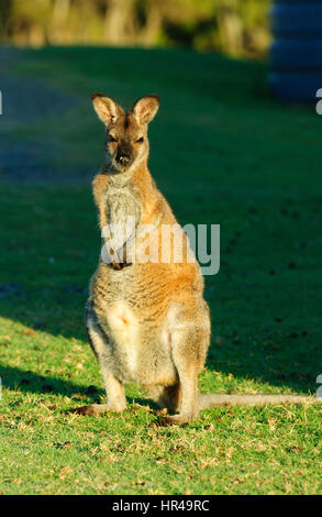 Red-necked Wallaby (Macropus rufogriseus) standing up, Potato Point, New South Wales, Australia - Stock Photo