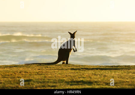 Red-necked Wallaby (Macropus rufogriseus) standing up on the beach in the morning light in front of the sea, Potato - Stock Photo