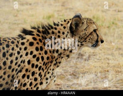 A beautiful male cheetah with a coat covered with dark black spots.
