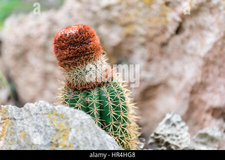 cactus growing in and amongst rocks in St Bart's - Stock Photo