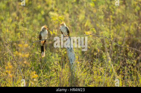 Backlit Guira Cuckoos perched on a fence in the Pantanal region of Brazil, South America - Stock Photo