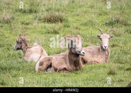 One male and two female Bighorn sheep resting at Northwest Trek Wildlife Park near Eatonville, Washington, USA - Stock Photo