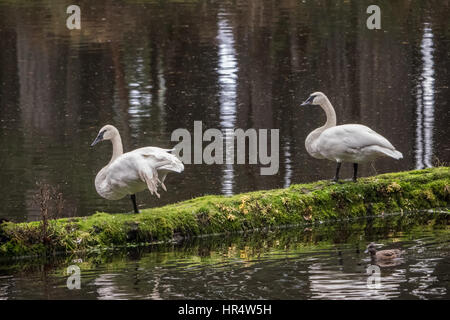 Two Trumpeter Swans resting on a moss-covered log at Northwest Trek Wildlife Park near Eatonville, Washington, USA - Stock Photo
