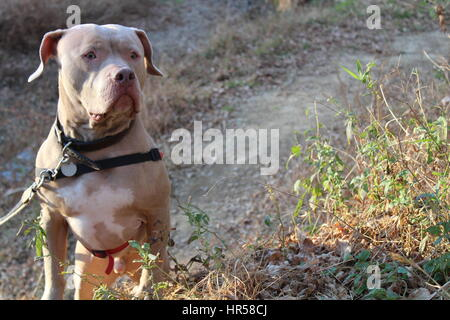 American Staffordshire Terrier. Pitbull - Stock Photo