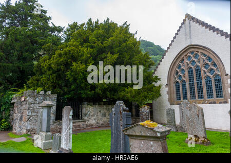 The Fortingall yew tree in the church yard of Fortingall church. at 5000 years old it is possibly the oldest living - Stock Photo