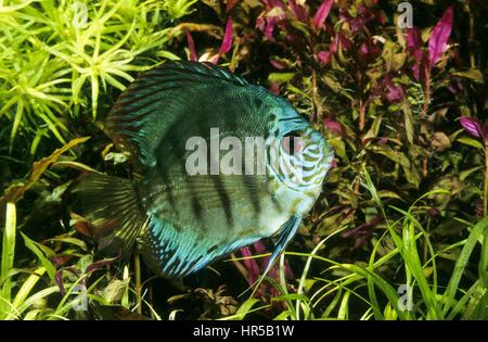 Diskusfisch, Diskus-Fisch, Diskusbuntbarsch, Diskus-Buntbarsch, Diskus, Symphysodon aequifasciatus, Symphysodon - Stock Photo