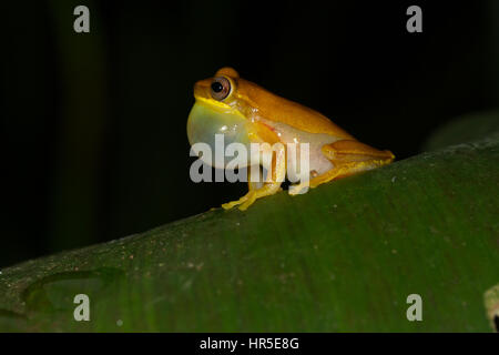 The Small-headed Treefrog, Dendropsophus microcephalus, is a widespread tree frog found in tropical rainforests - Stock Photo