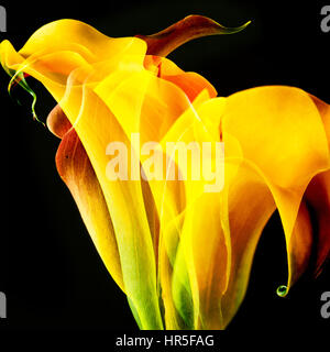 yellow Lily  Calla flower abstract, artistic composite of many flowers - Stock Photo